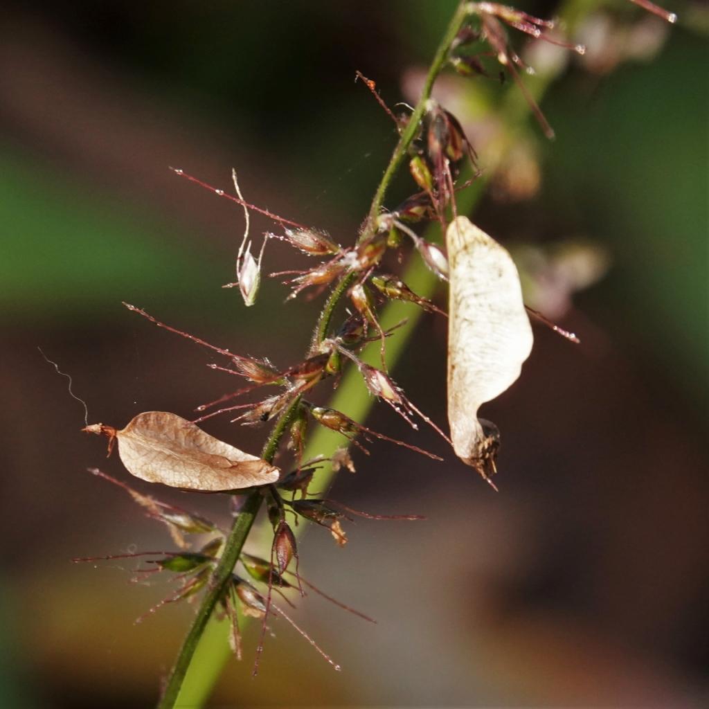 写真1-2 アキニレの種