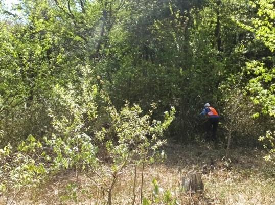 クヌギ植栽地ササ刈り