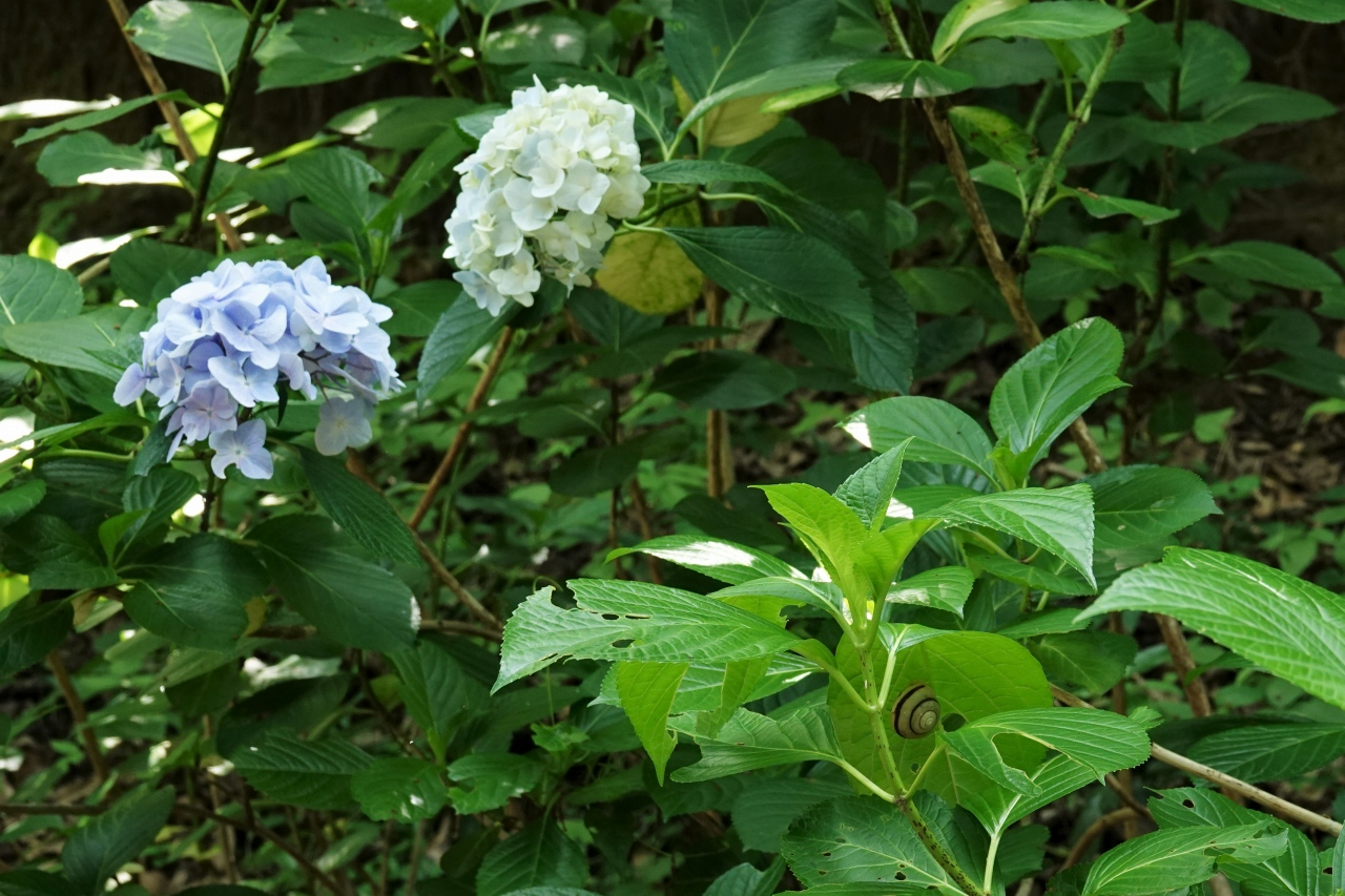 写真8.ホンアジサイの葉のカタツムリ(右巻き)