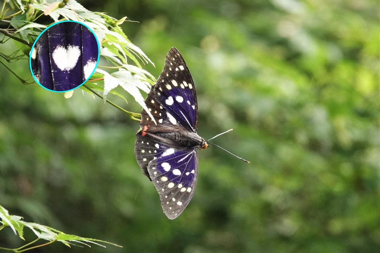 オオムラサキの翅の模様@中部園地周辺