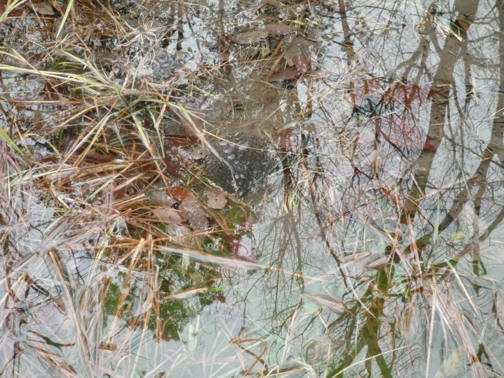 さんさくの池の卵塊