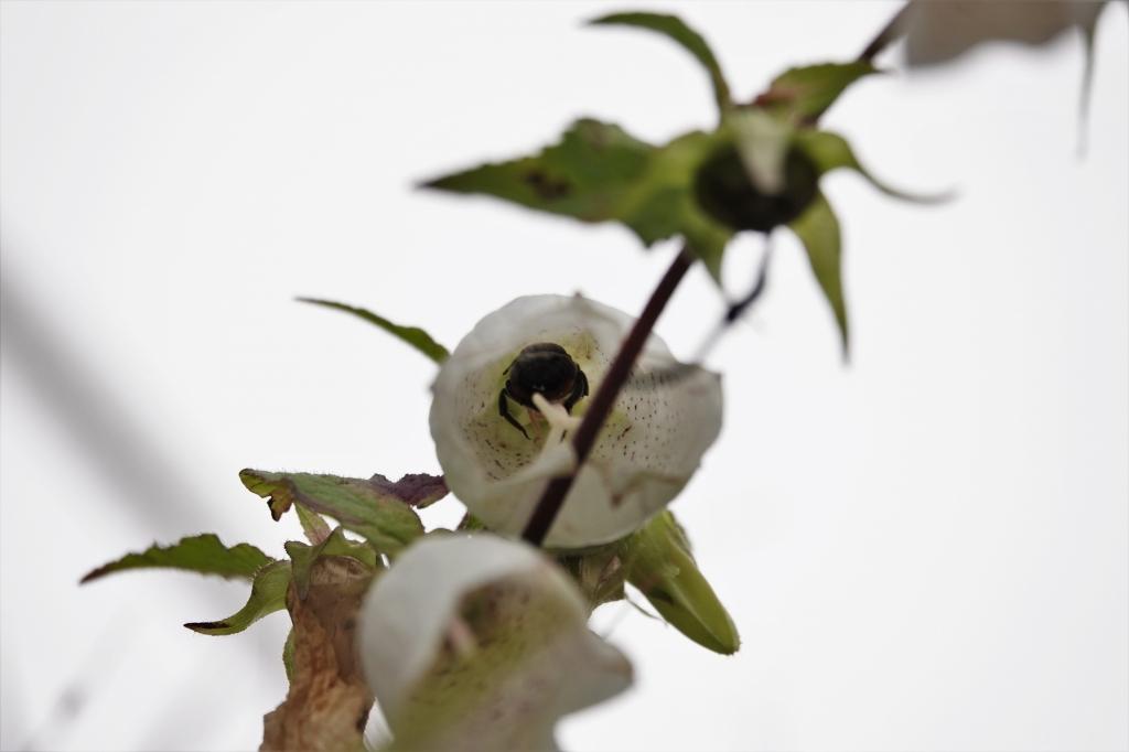ホタルブクロの花の中(マルハナバチらしき虫が入ってます)