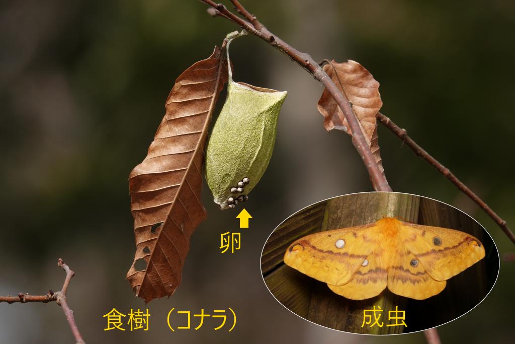 写真1-2 卵で越冬の例(ウスタビガ)