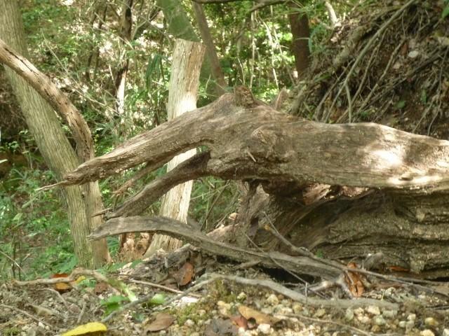 くろんど園地「ヘビの頭」  枯れ木がヘビの口に見えました