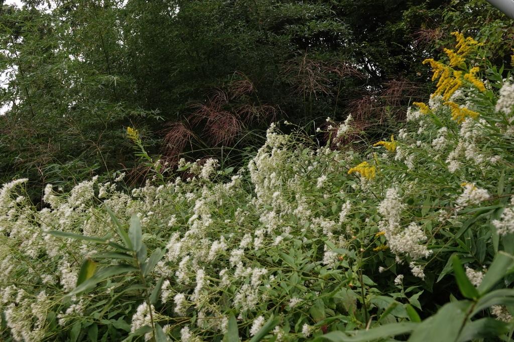 鉄塔下で咲き誇るヒヨドリバナ