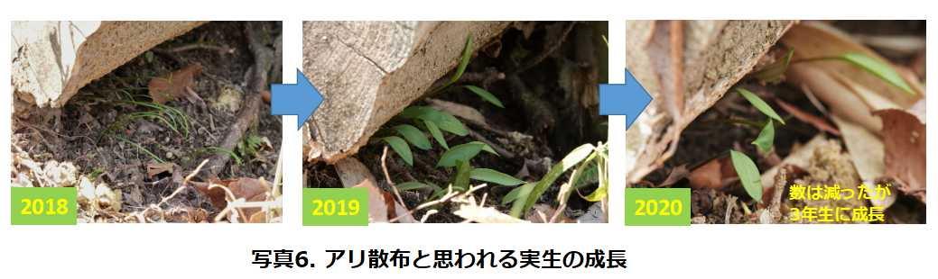 写真6. アリ散布と思われる実生の成長