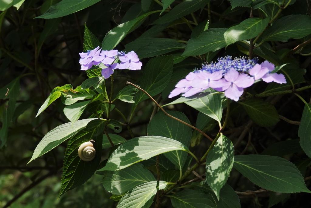 写真11.ガクアジサイの葉のカタツムリ(右巻き)