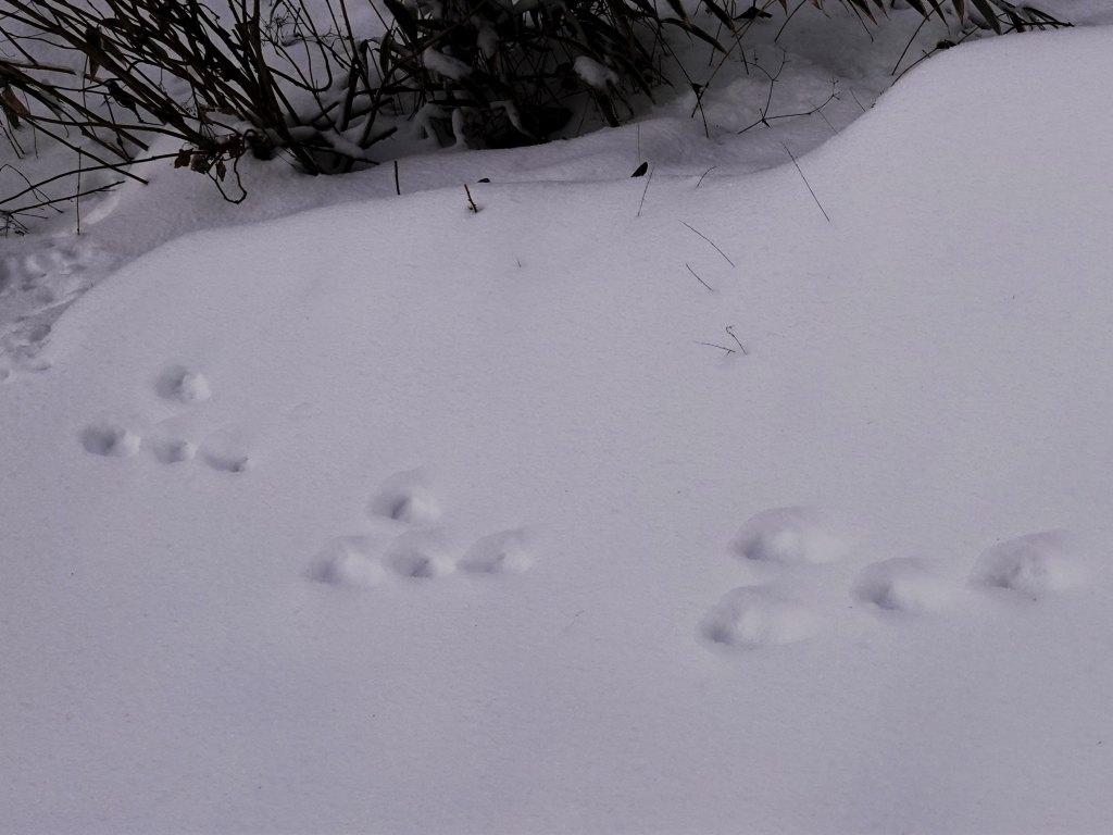 足跡 その2 ウサギかな~ ちょっと後ろ足が小さいような?