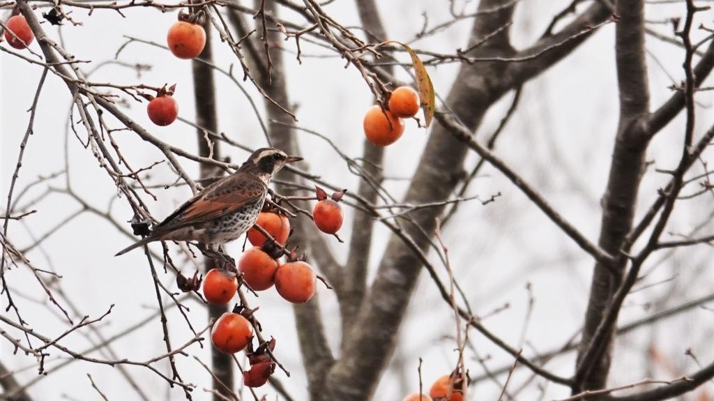 柿の木にツグミ