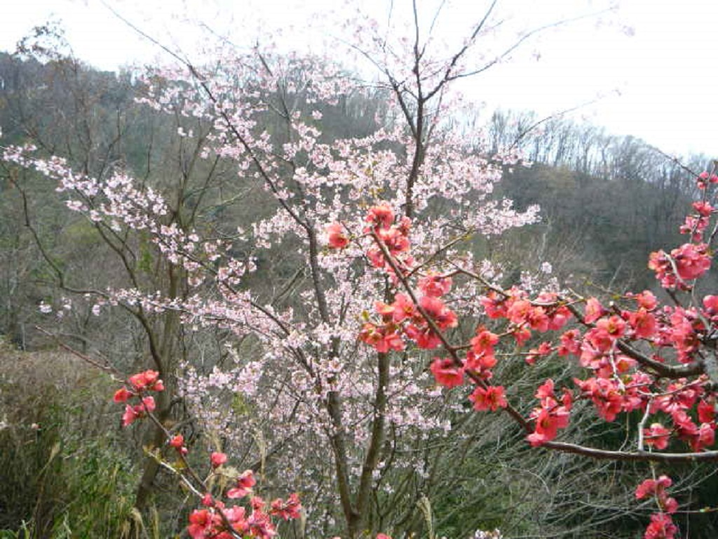 20200322_山桜&ボケの花
