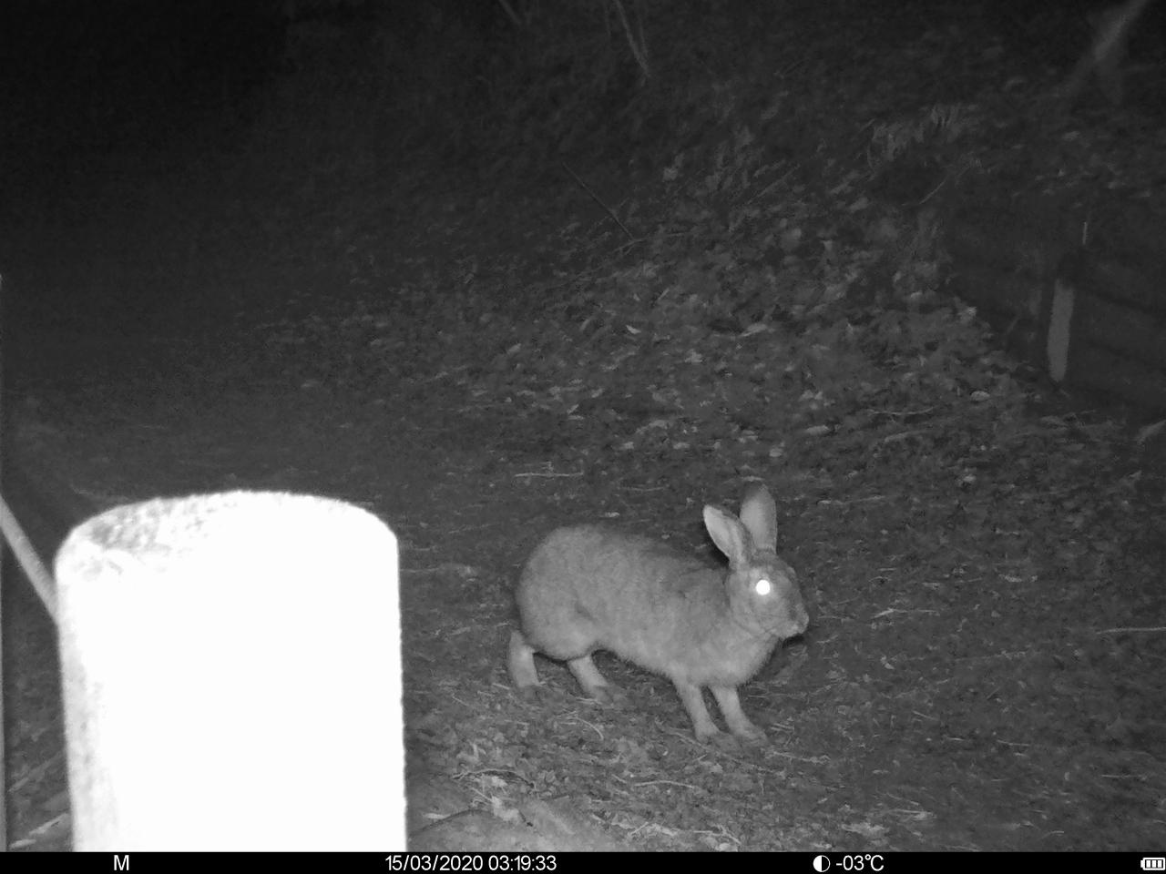 ウサギ(ニホンノウサギと推測)