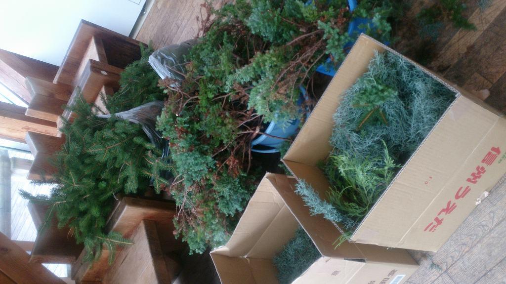新鮮な緑もたくさん用意しました!(モミの木、ブルーアイス、サツマ杉)