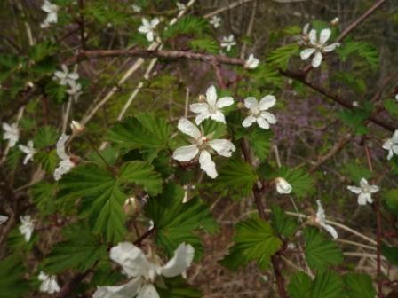 ノイチゴの花
