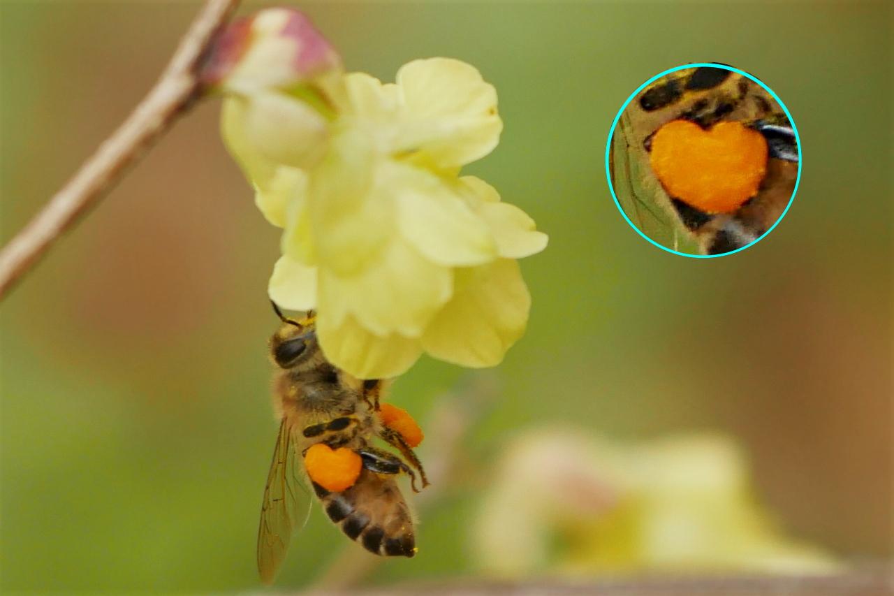 ニホンミツバチの花粉だんご@大阪城公園