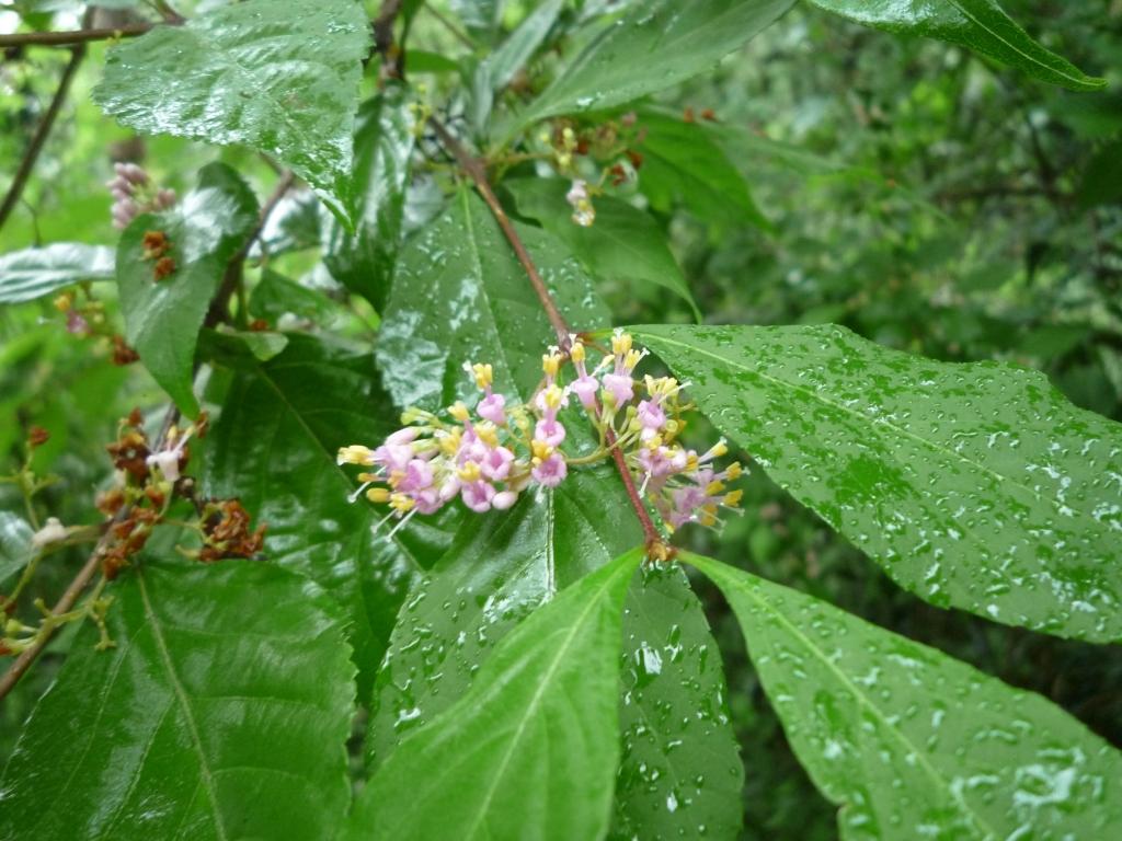 ムラサキシキブの花 2016/6/13