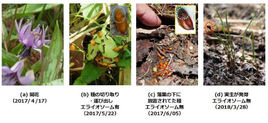 写真3.アリによる種の散布から発芽までがつながり