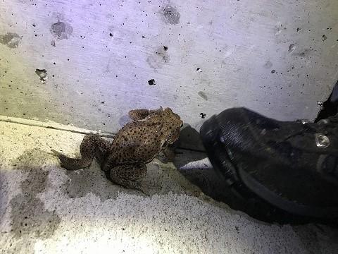 夜徘徊中のヒキガエル