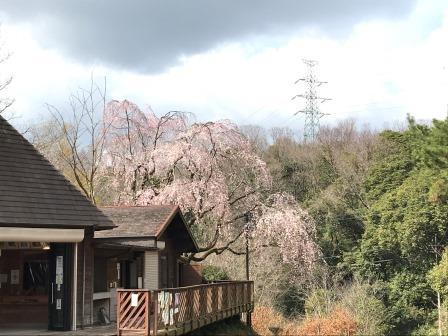 しだれ桜開花(園地案内所)