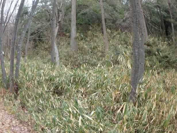 カタクリの森前の笹原の状況