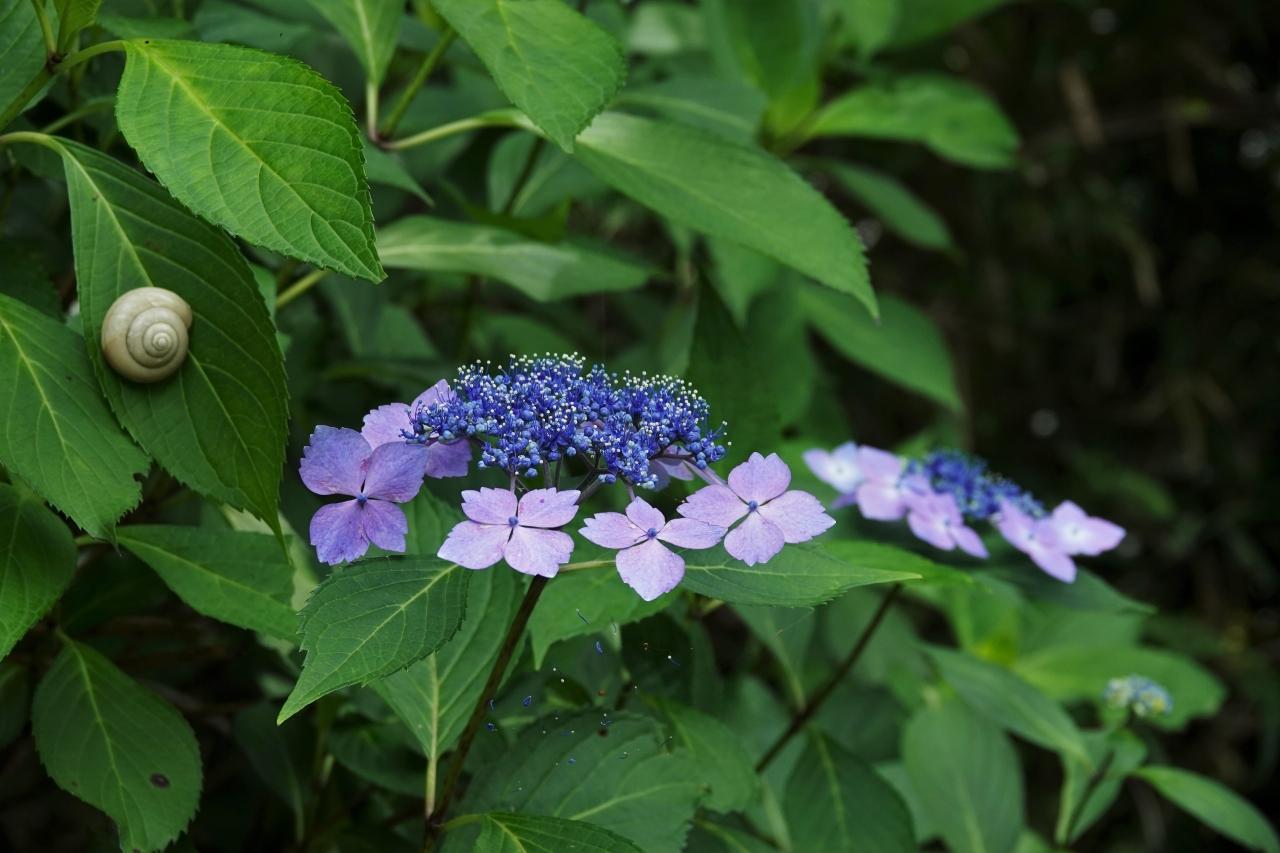 写真9.ガクアジサイの葉のカタツムリ(右巻き)