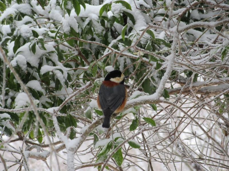 ヤマガラは雪の中でも元気です。