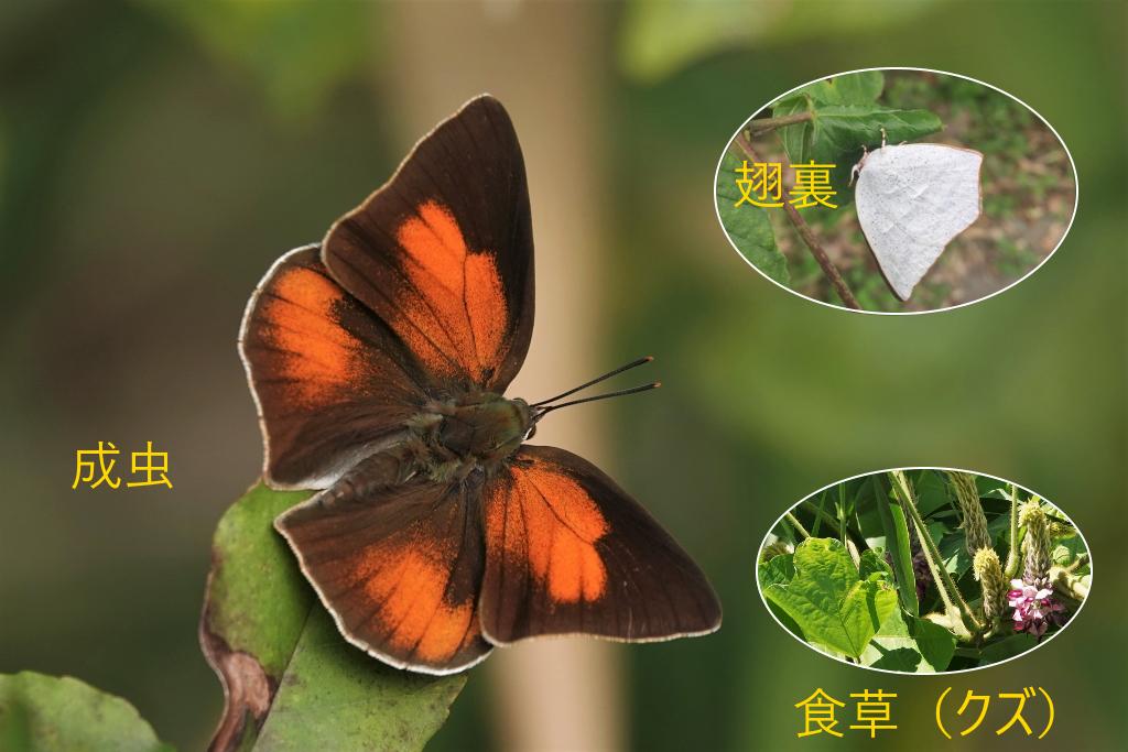 写真1-7 成虫で越冬の例(ウラギンシジミ)
