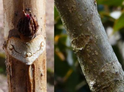 冬の楽しみ葉痕探し。オニグルミ(右)、アジサイ(左)