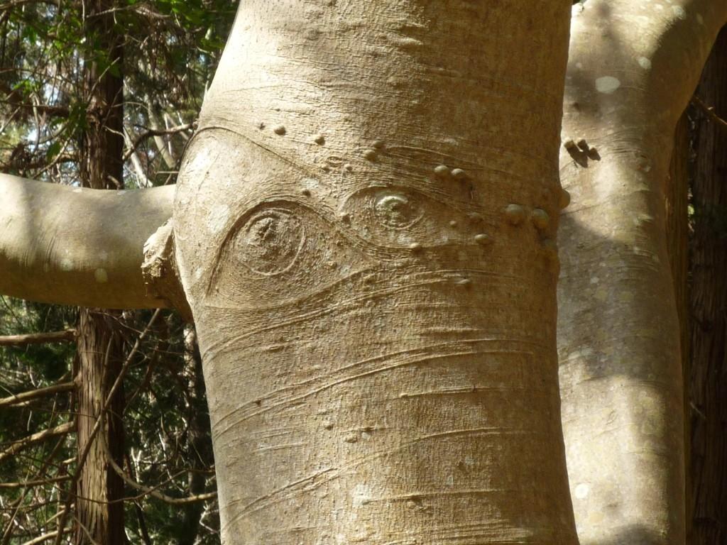 くろんど「目玉の木」  どうすれば木に目玉ができるのやら?