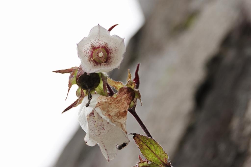 ホタルブクロの花の中(下からのぞいたところ)