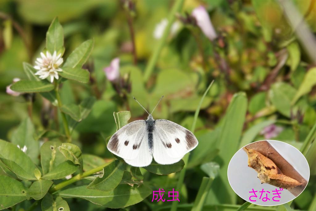 写真1-5 さなぎで越冬の例(モンシロチョウ)