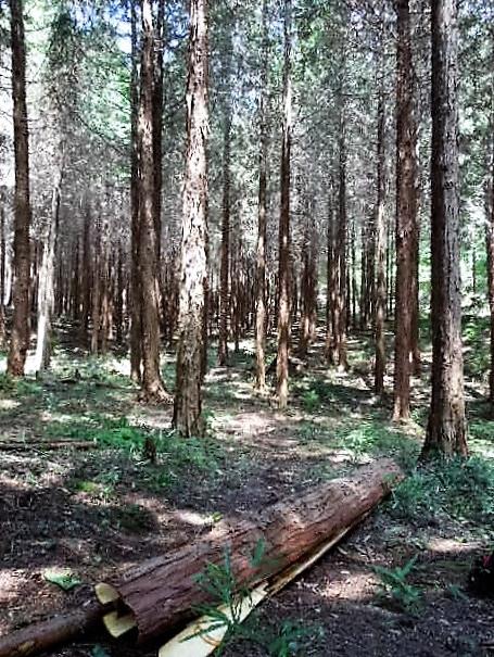人工林内作業路整備状況②