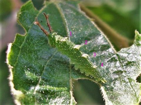 写真1-3 幼虫で越冬の例(オオムラサキ)