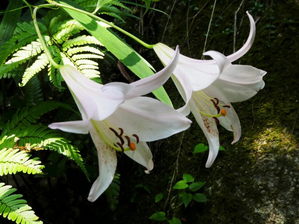ササユリ(花びらの下側に花粉がついている)