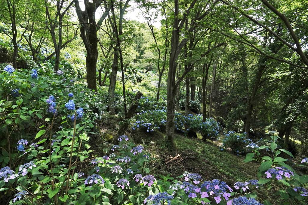 写真2.森の中のあじさい