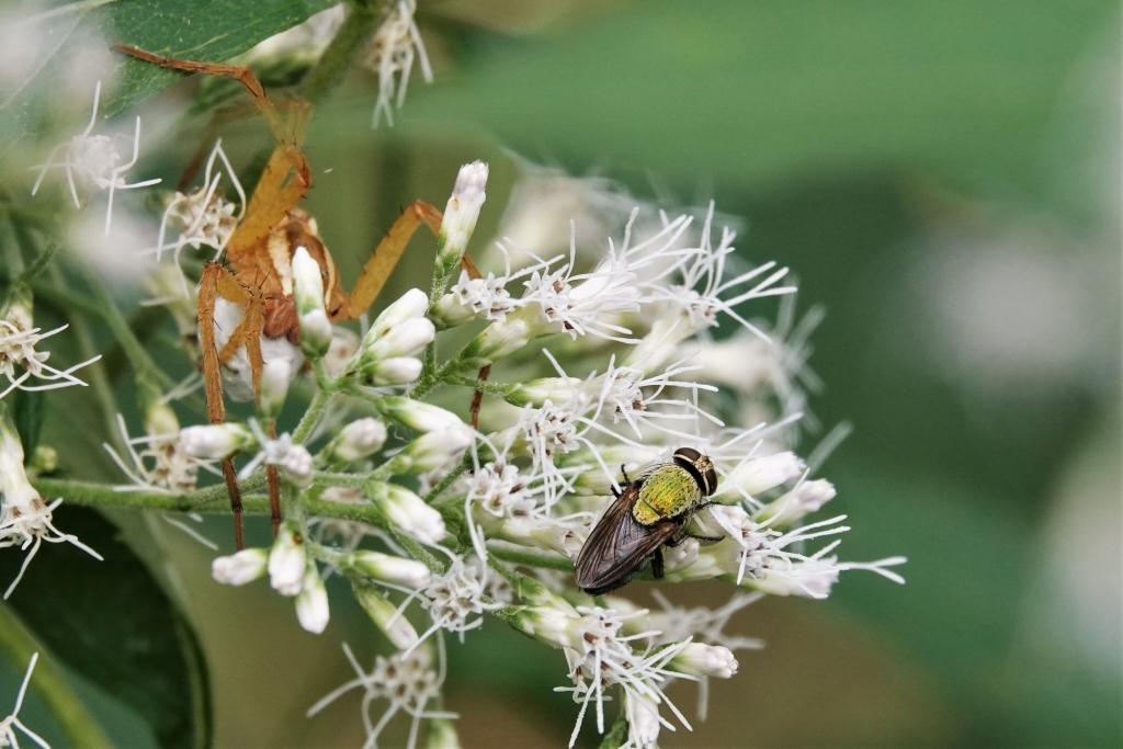写真1 (d)ミドリバエとハシリグモの仲間