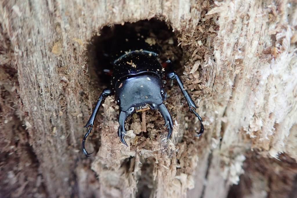 薪割台の木で冬眠していたクワガタ 薪割でたたき起こされました。 爪の形や生息場所からするとヒメオオクワガタか? もちろん観察後は元の状態に戻しておきました。
