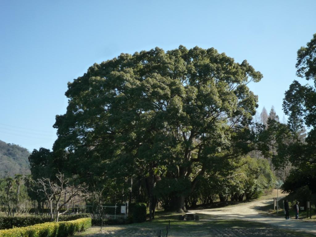 クスノキ大木
