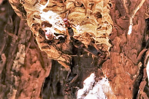 写真2 赤茶色のハチ(チャイロスズメバチ)