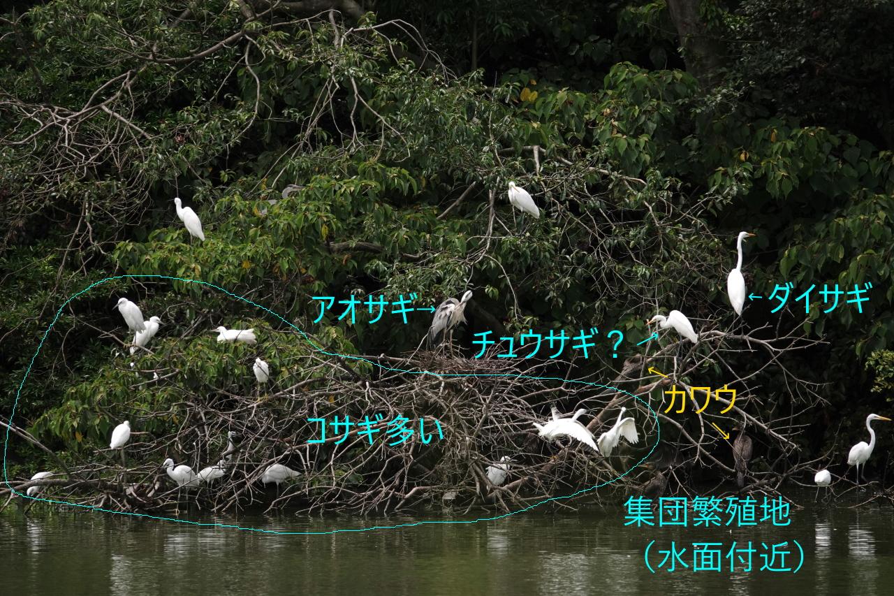 写真7b.集団繁殖地のようす(水面付近)