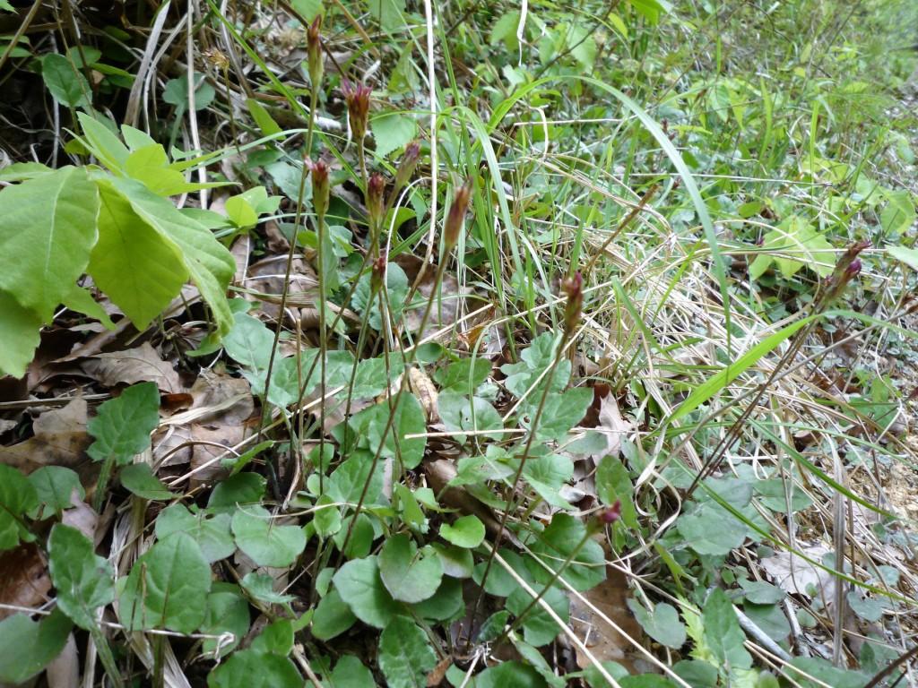 センボンヤリ春花の花茎
