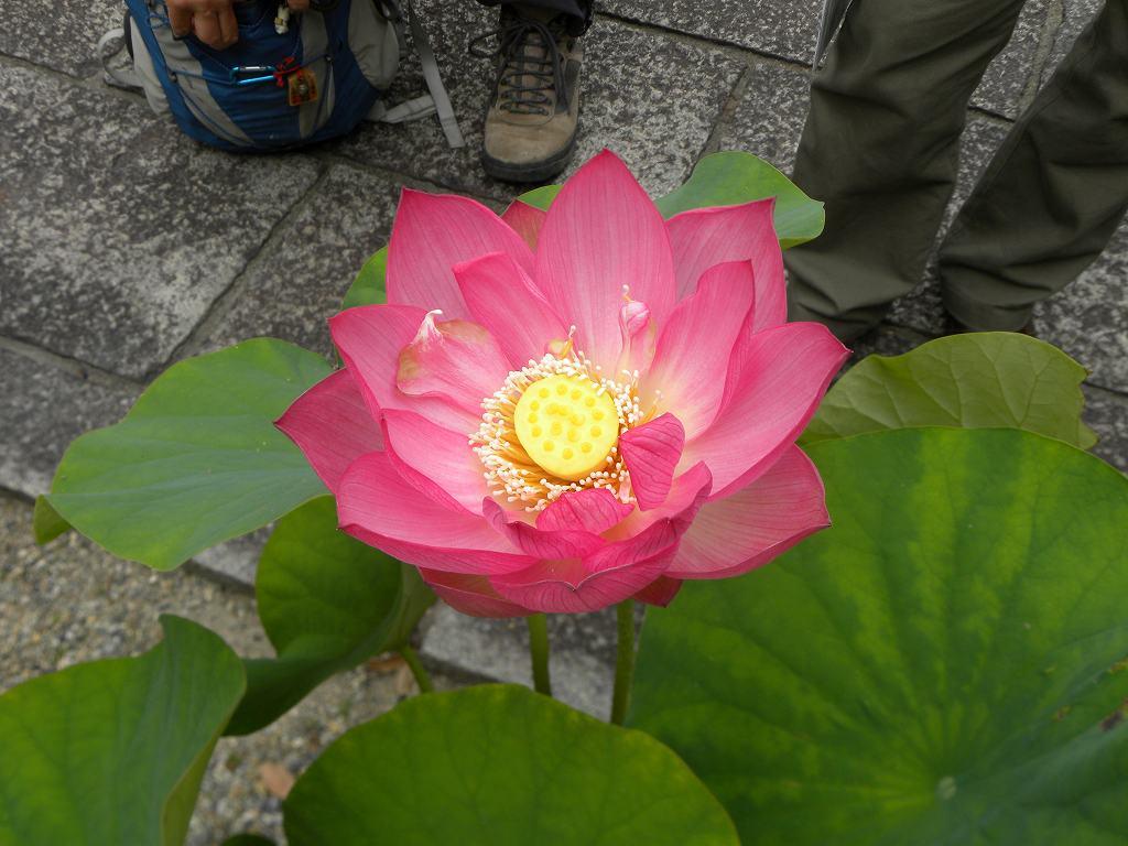 鶴林寺内に綺麗な蓮の花が咲いていました