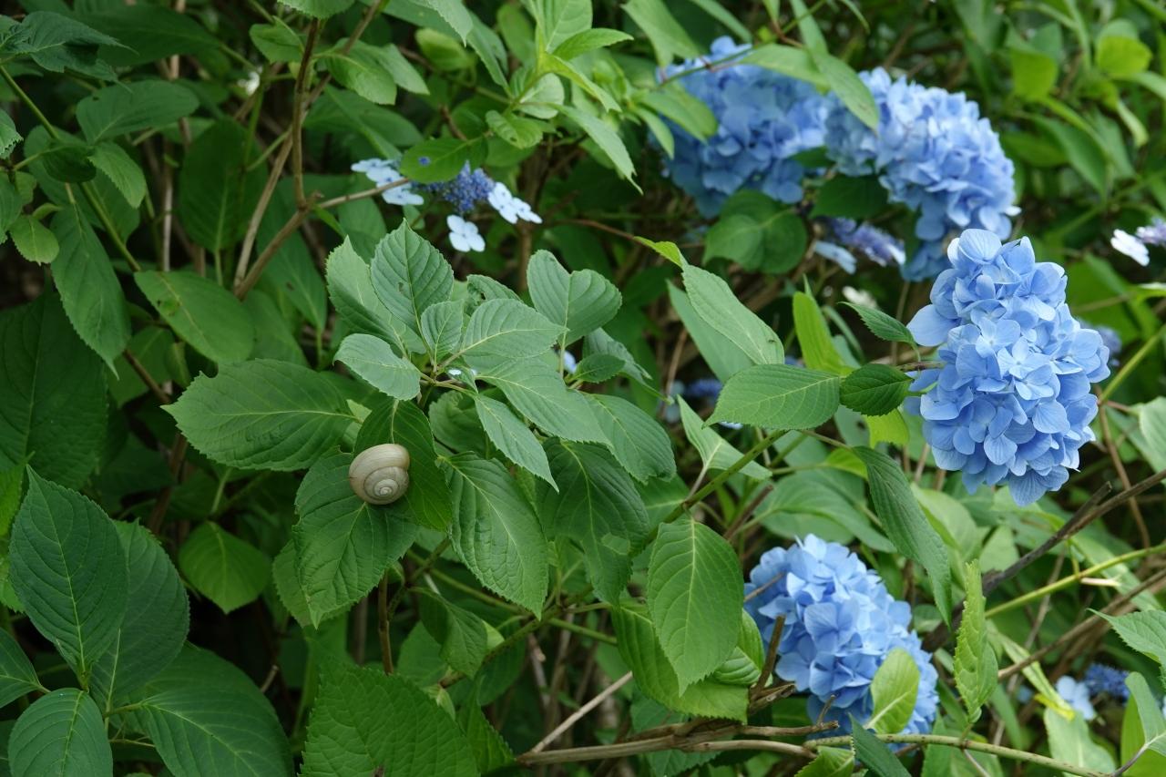 写真10.ホンアジサイの葉のカタツムリ(右巻き)