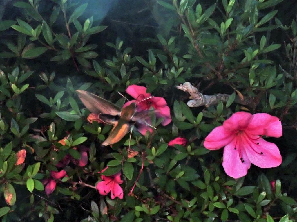 ツツジで蜜を吸うキイロスズメ(19時頃)