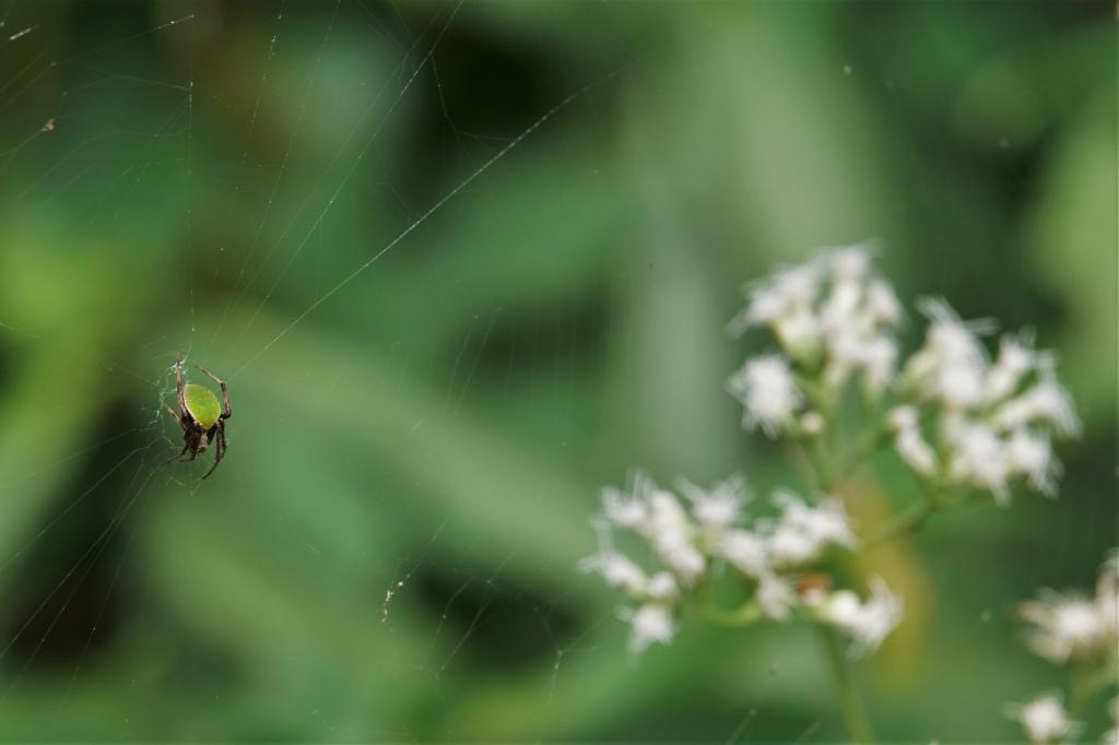 写真1 (f)ワキグロサツマノミダマシ