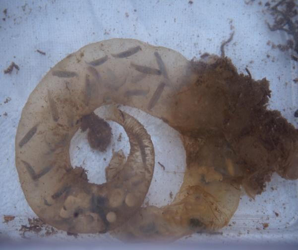 カスミサンショウウオの卵塊(幼体の成長が観られる)