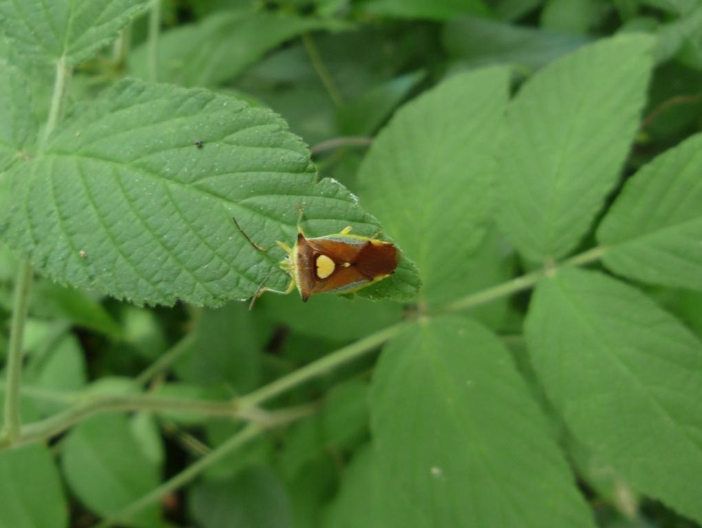 エサキモンツキノカメムシ