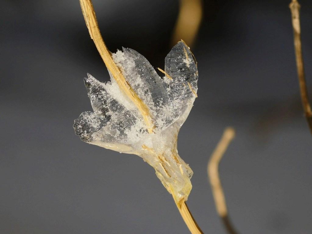 スタッフが帰り道で撮った氷花。これも冬の自然の楽しみ。