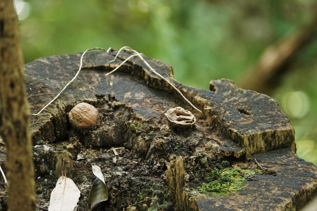 リスの食痕と思われるクルミ(白旗池)