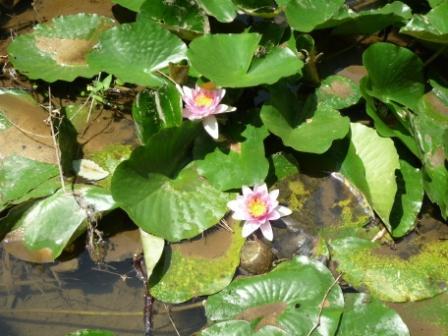 スイレンの花