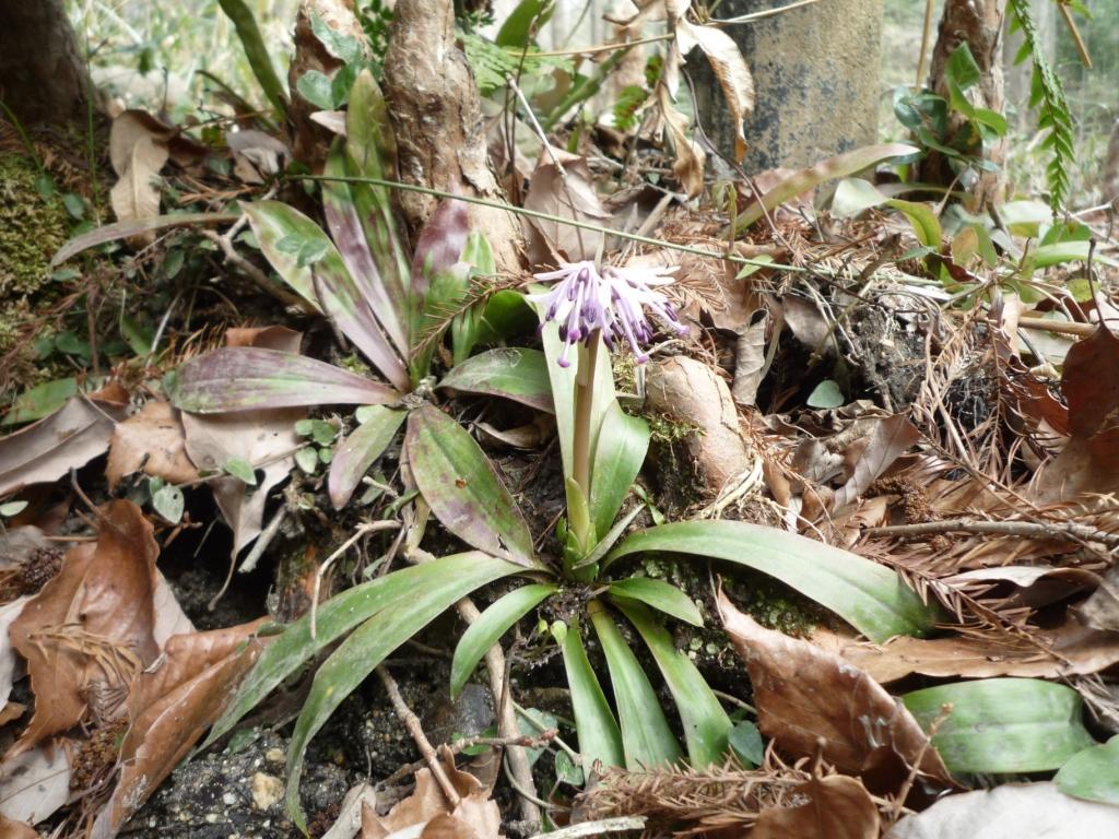 そろそろ咲き始めたショウジョウバカマの花